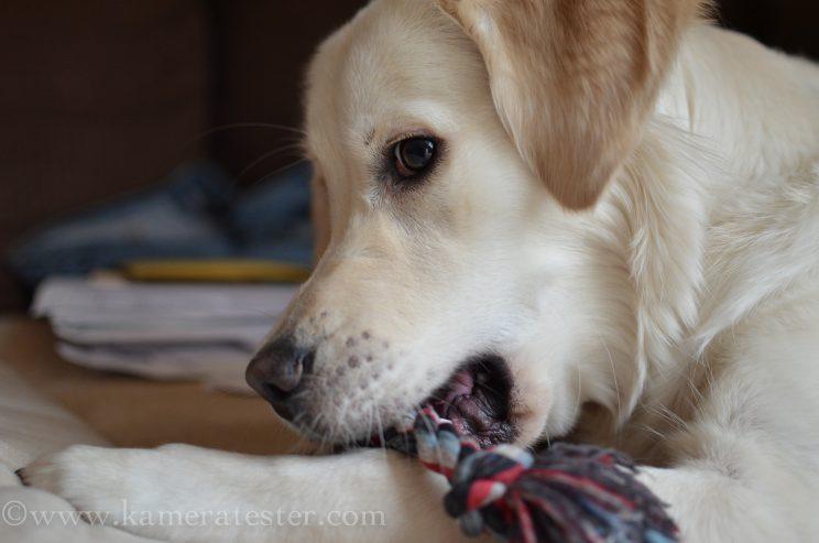 Kameratester Kamera tester kamera test nikon d5100 sigma 18-35 objektiv tierfotografie tier fotografie hund hundefotografie unschärfe tiefenschärfe schärfentiefe fokus fokuspunkt